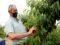 Arrenca la collita de Préssec d'Ordal, marcada per fruits menuts però de gran qualitat
